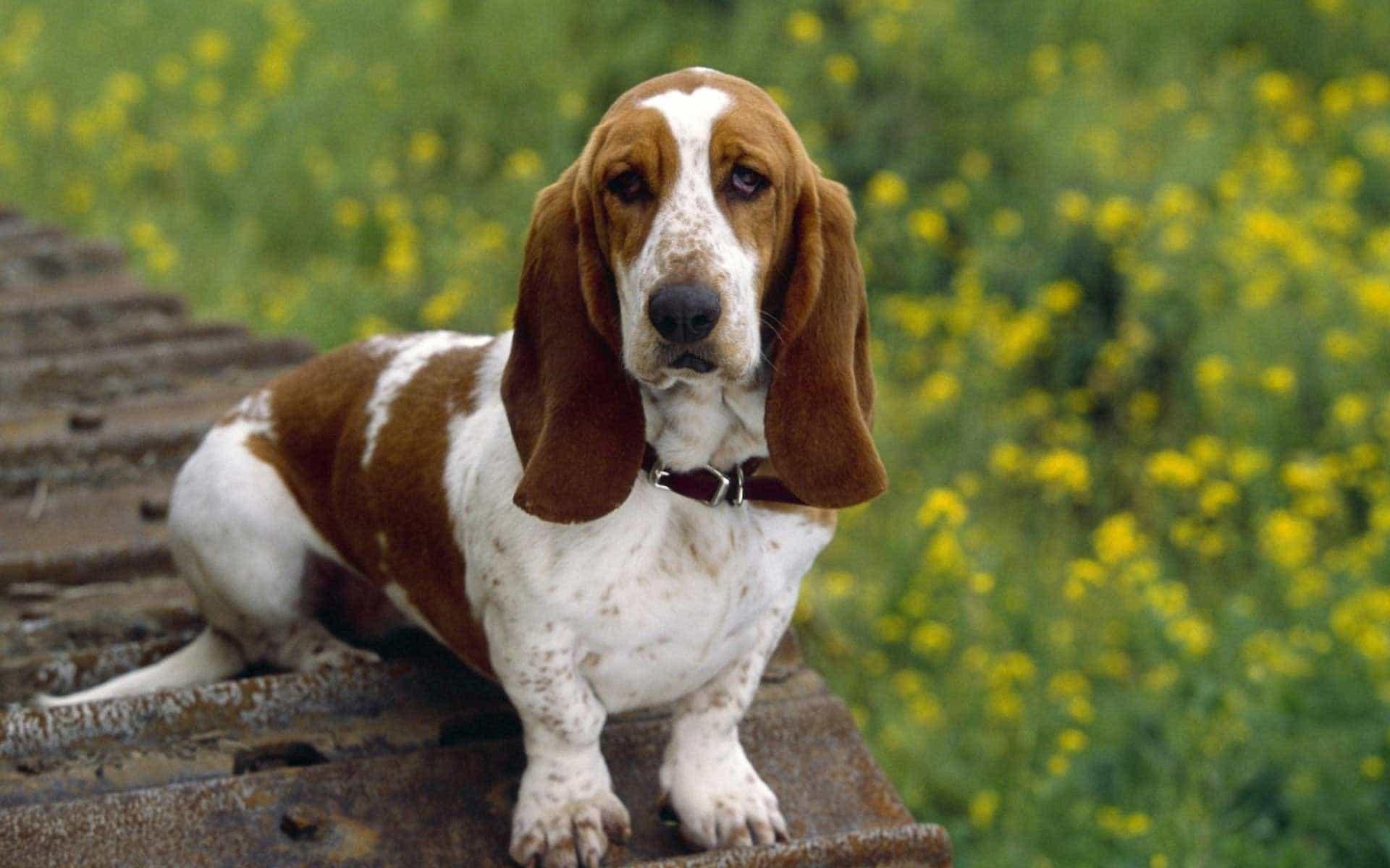 Chú chó lùn basset hound đứng trên tảng đá trên cánh đồng hoa