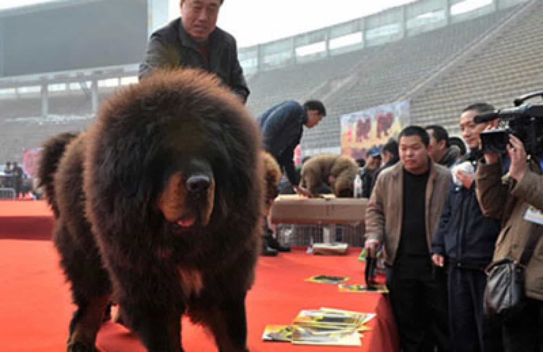Chú chó Ngao Tây Tạng có giá cao nhất Thế Giới
