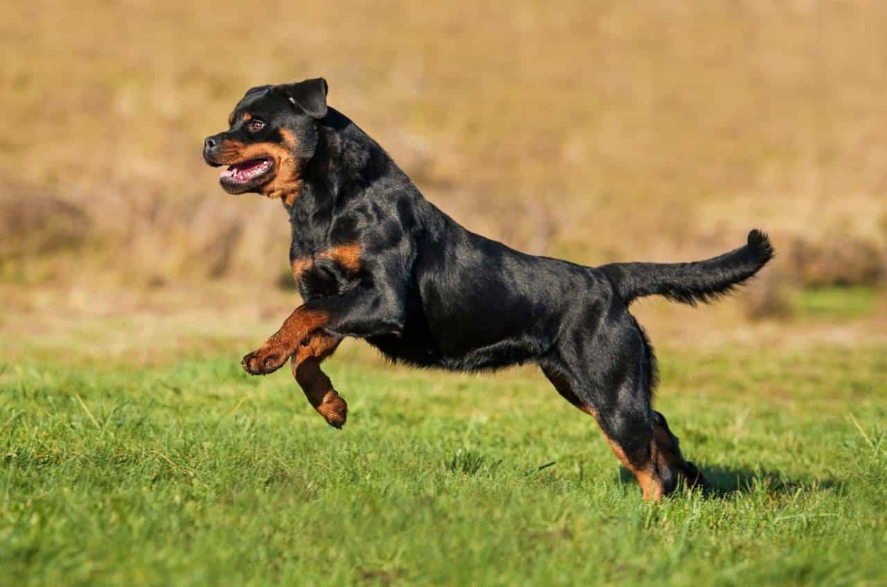 Chú chó Rốt nhảy lên bằng 2 chân
