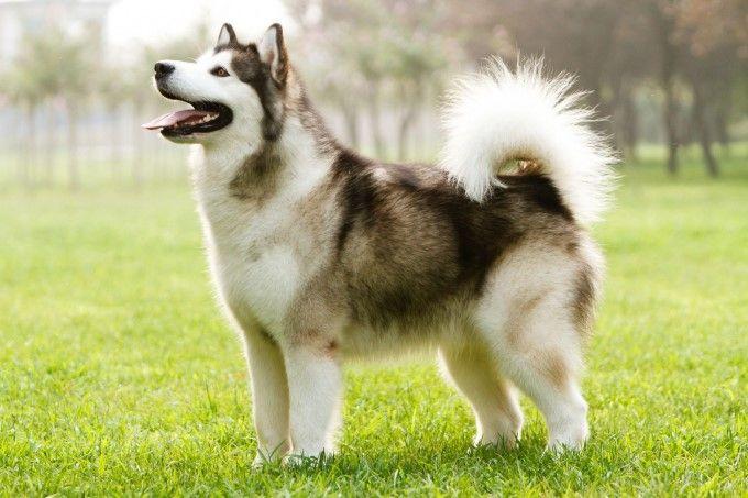 Có nên mua chó Alaska với giá rẻ không?