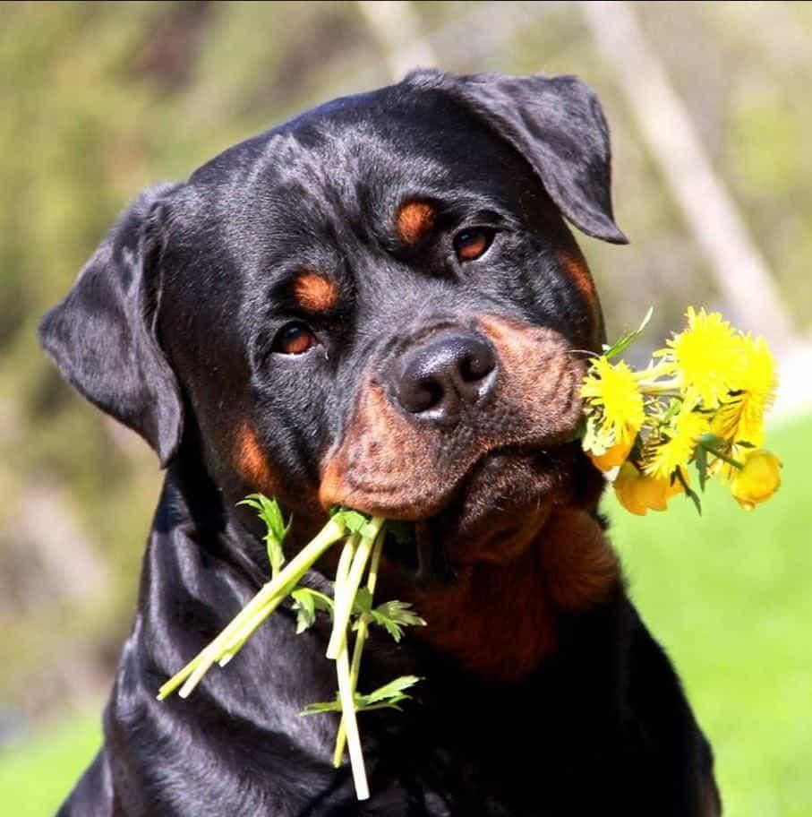 có nên nuôi chó rottweiler không