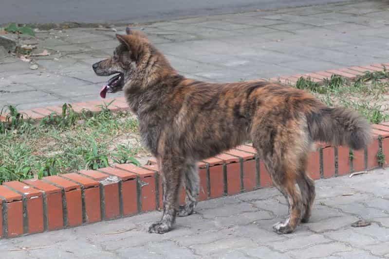 Đặc điểm của chó Bắc Hà