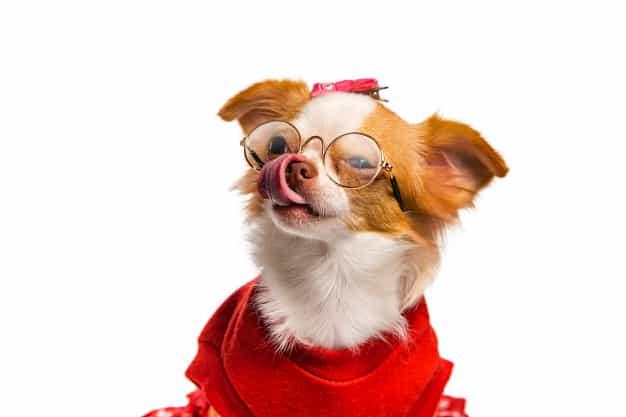 Đặc điểm ngoại hình của chó Chihuahua thuần chủng
