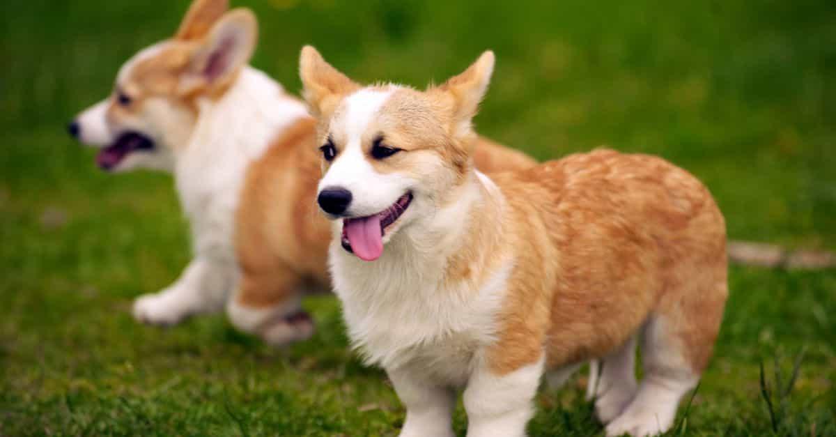 Đặc điểm thân hình của chó Corgi