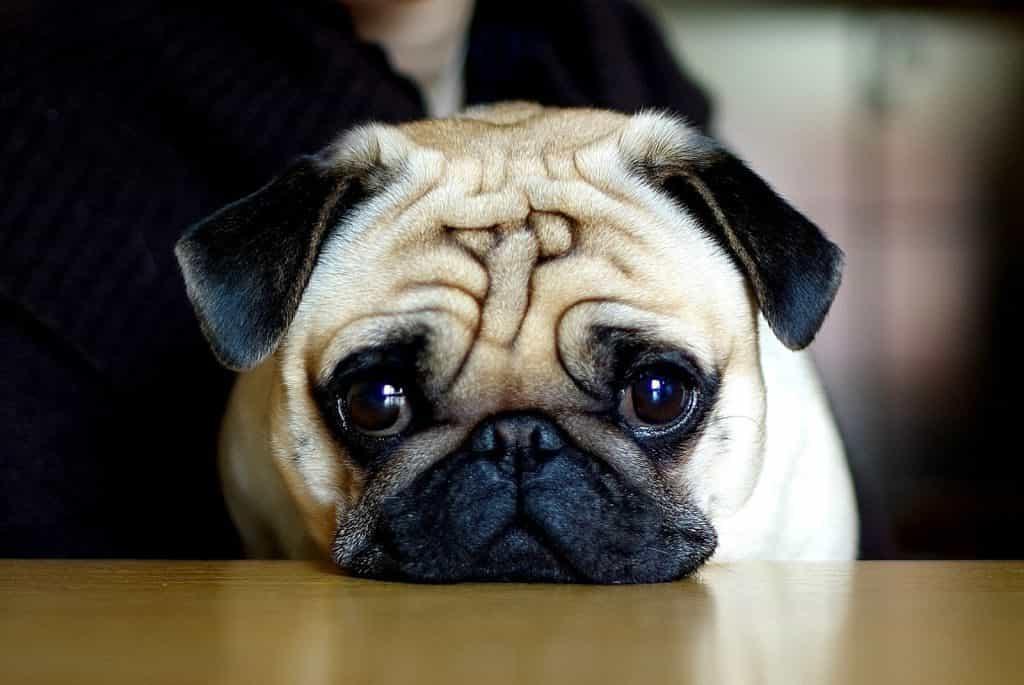 Đặc điểm tính cách của chó Pug