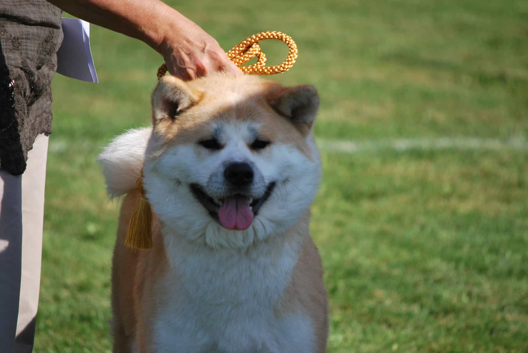 Đầu chó Akita
