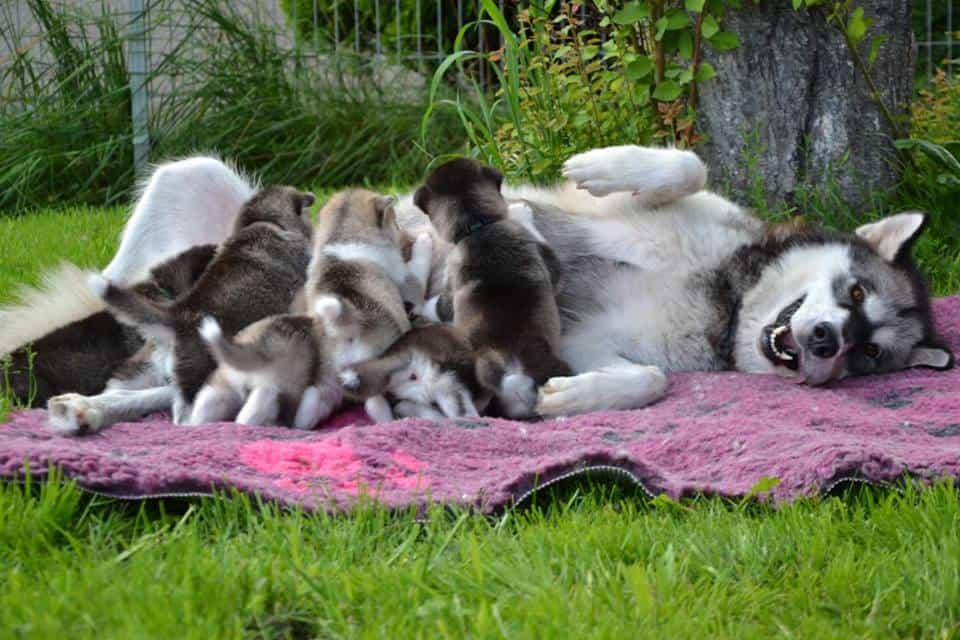 Dấu hiệu chó Alaska mẹ khó đẻ