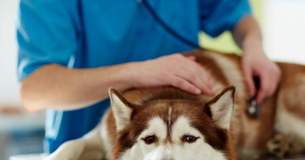 Dấu hiệu chó Alaska sắp sinh