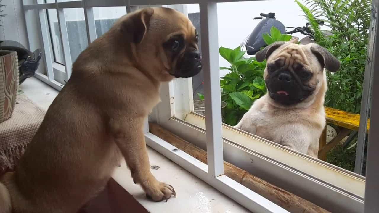 Điều kiện sống của chó Pug