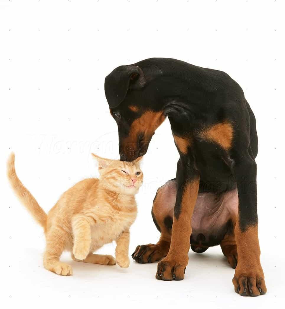 Doberman và mèo con