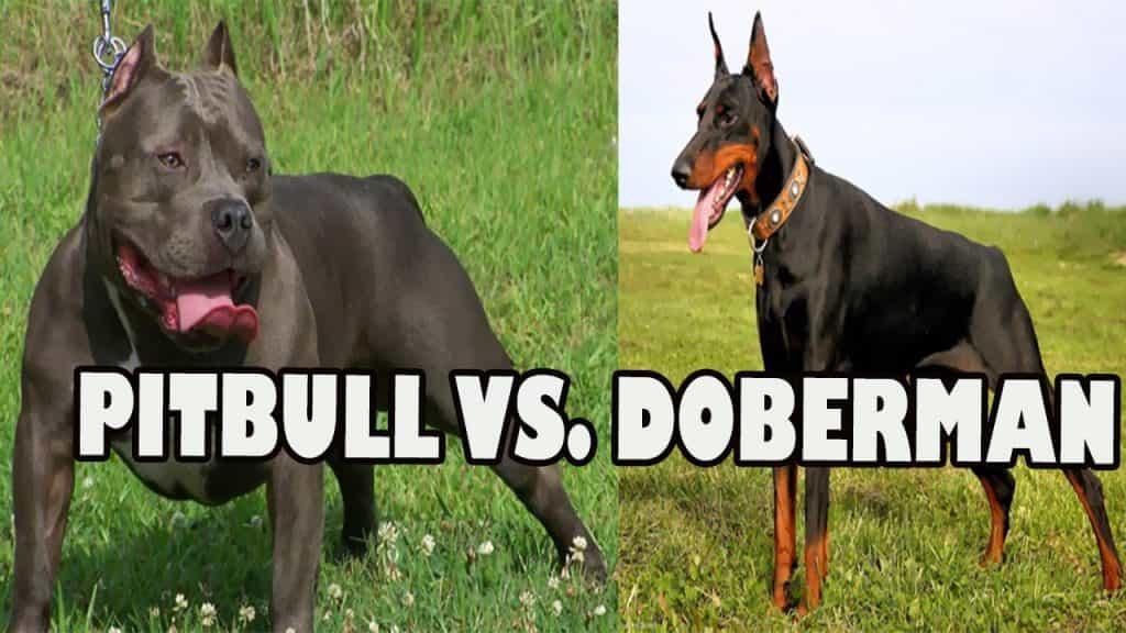 Doberman và Pitbull đều là những giống chó hung dữ