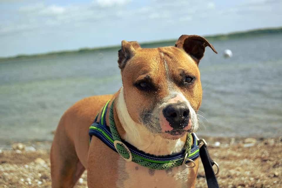 Giá cắt tai cho chó Pitbull?