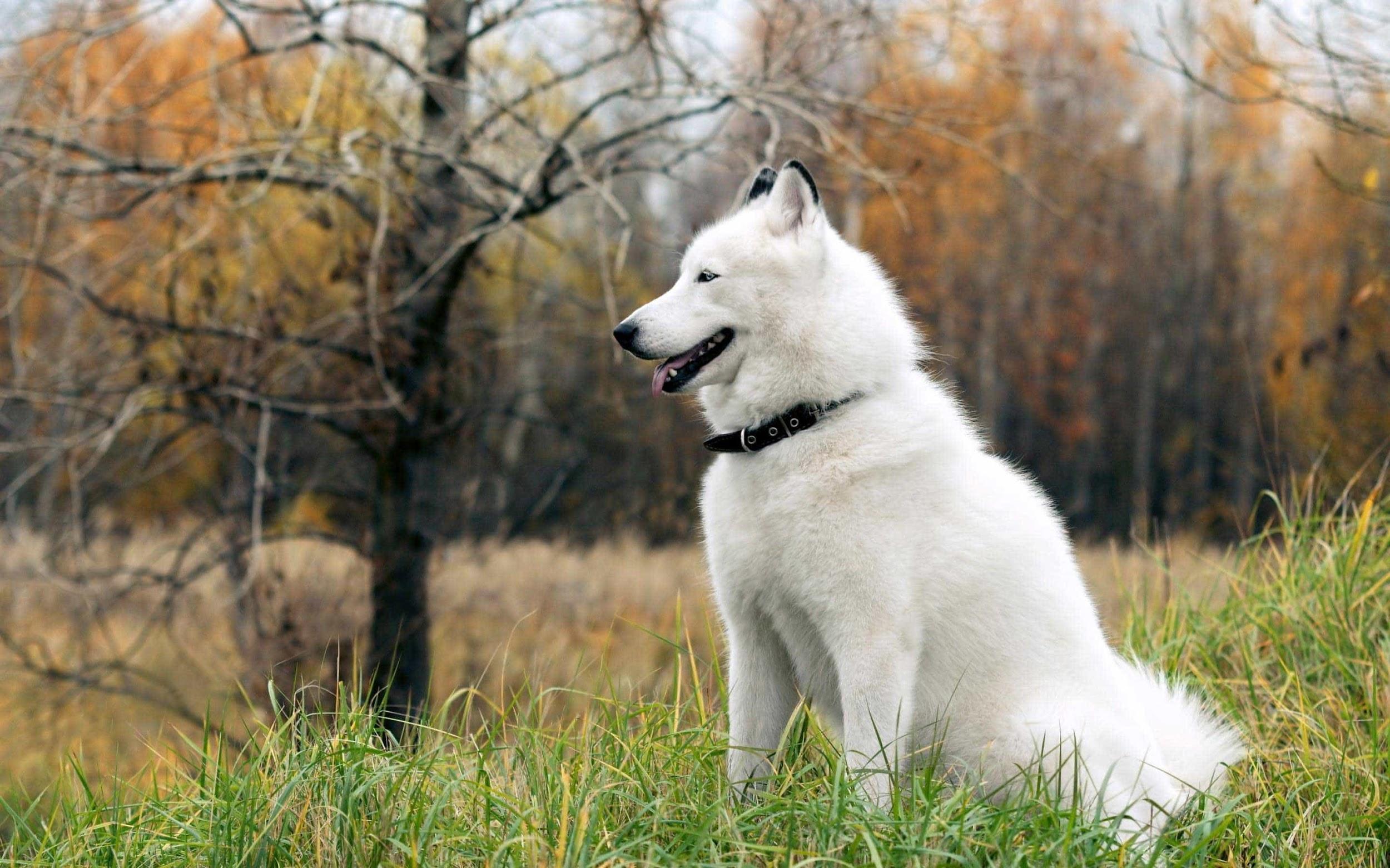 Giá chó Alaska màu trắng tuyết cao hơn các màu còn lại