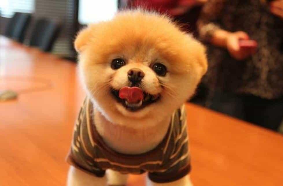 Giá chó Boo không không quá đắt