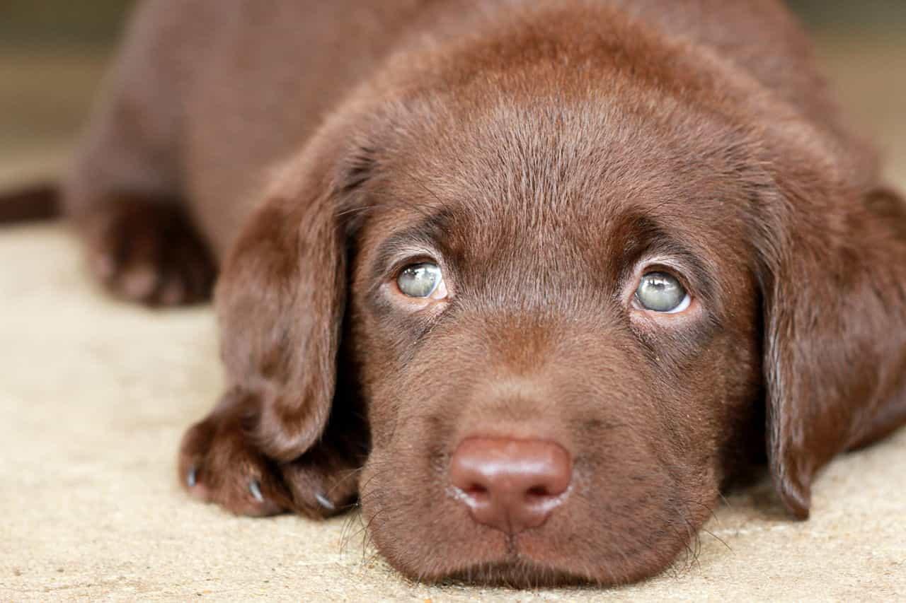 Giá chó Labrador con màu nâu socola