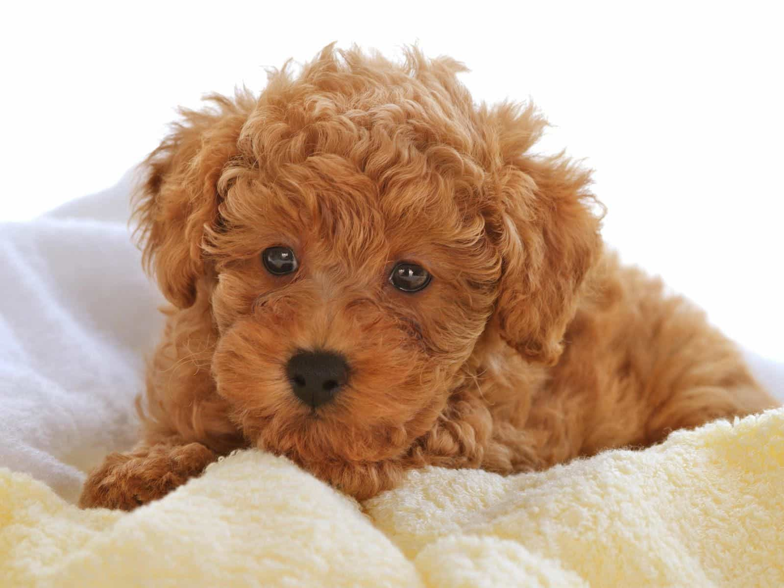 Giá chó Poodle phụ thuộc vào nhiều yếu tố khác nhau