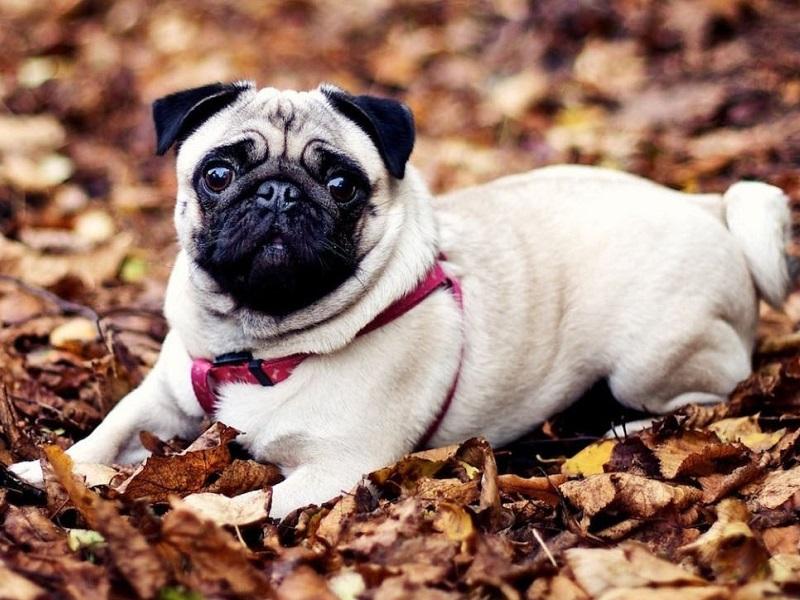 Giá của giống chó Pug