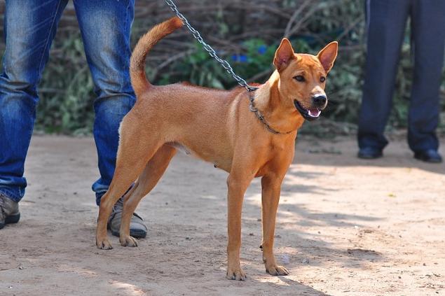 Giống chó cỏ tại Việt Nam.