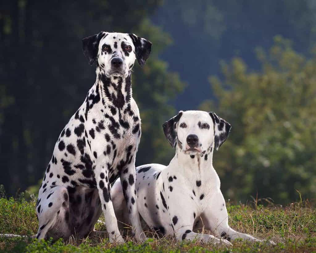 Giống chó Đốm của Croatia