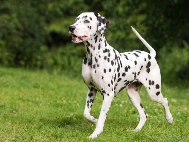 Giống chó Đốm Dalmatian