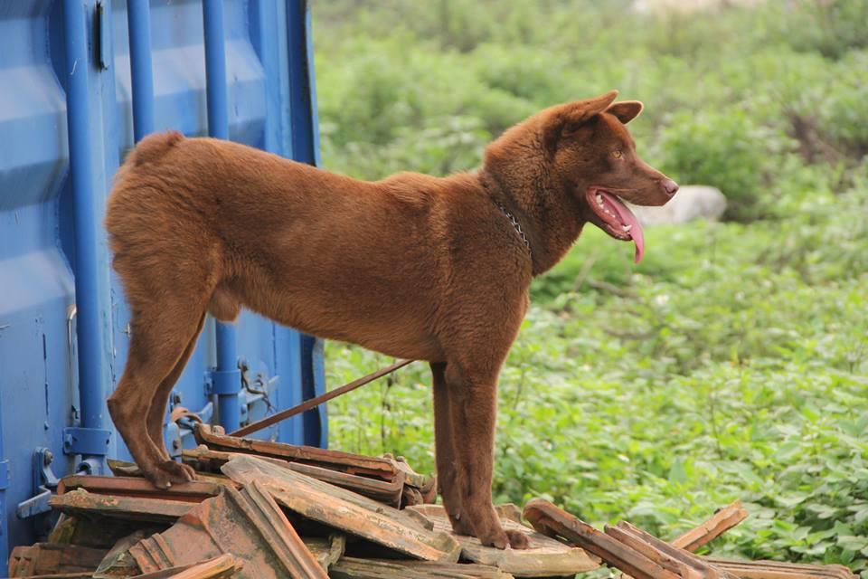 Giống chó H'mông tại Việt Nam.