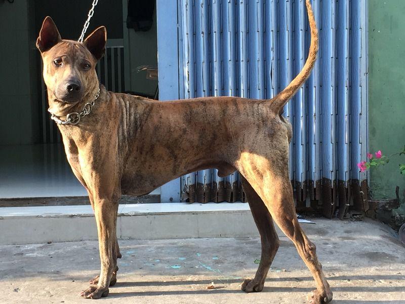 Giống chó Phú Quốc tại Việt Nam.