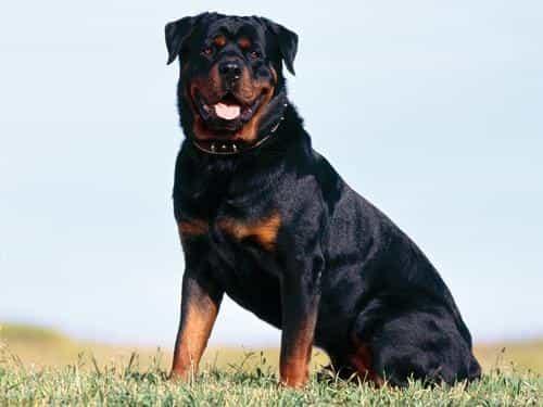 giống chó rottweiler thuần chủng