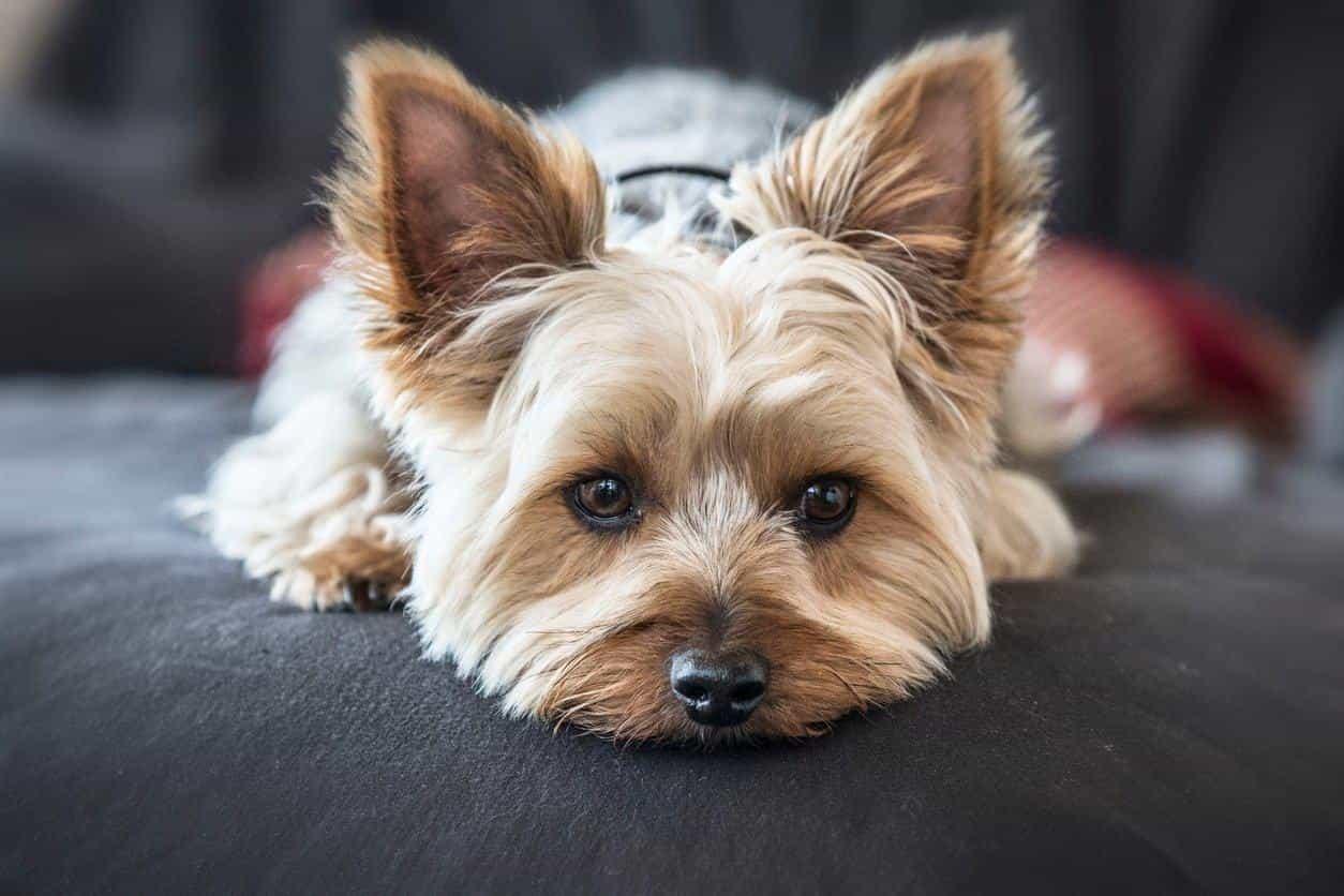 giống chó yorkshire terrier