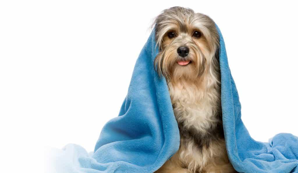 Giữ ấm cho chó khi bị cảm lạnh