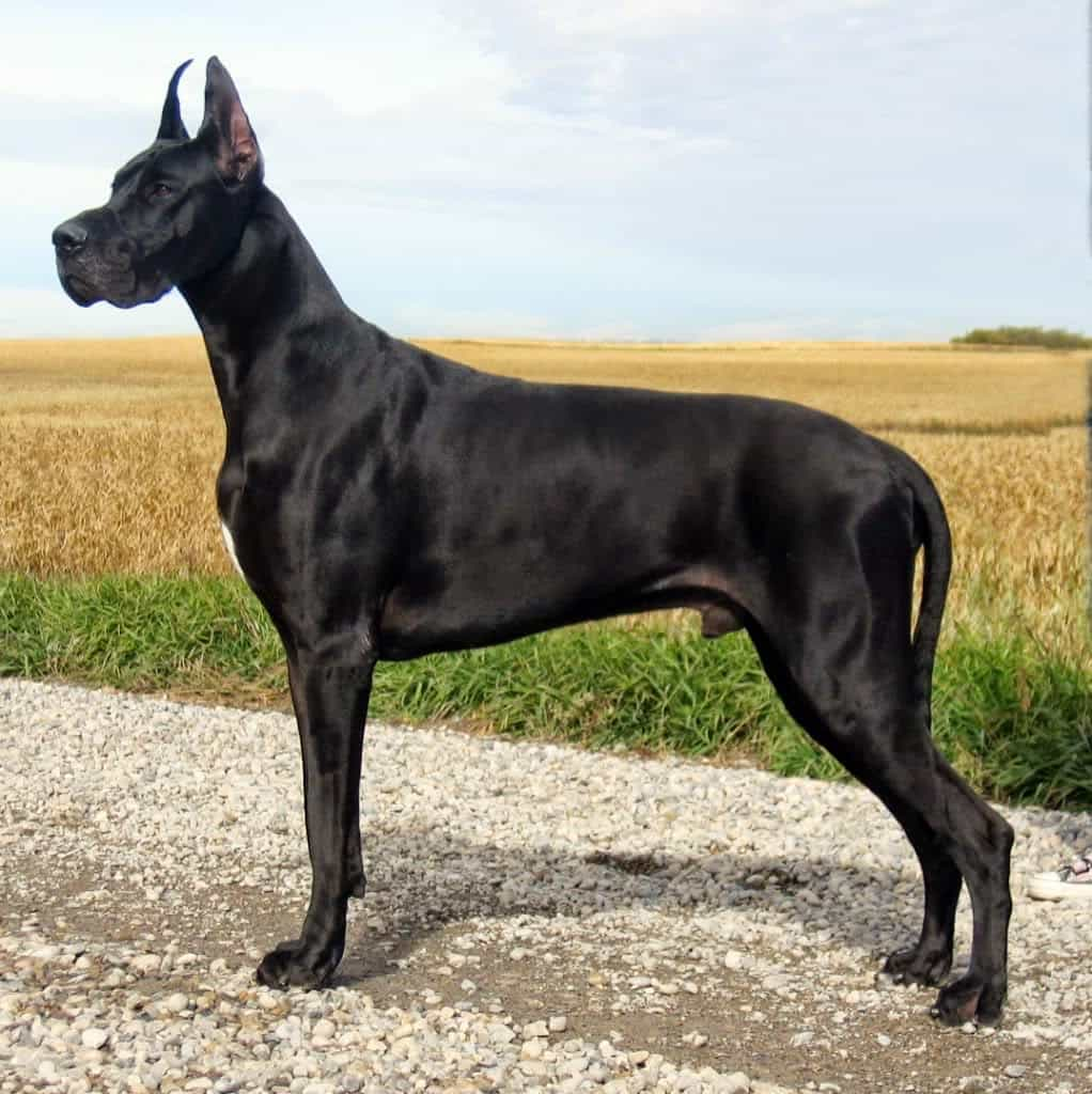 Great Dane màu đen tuyền