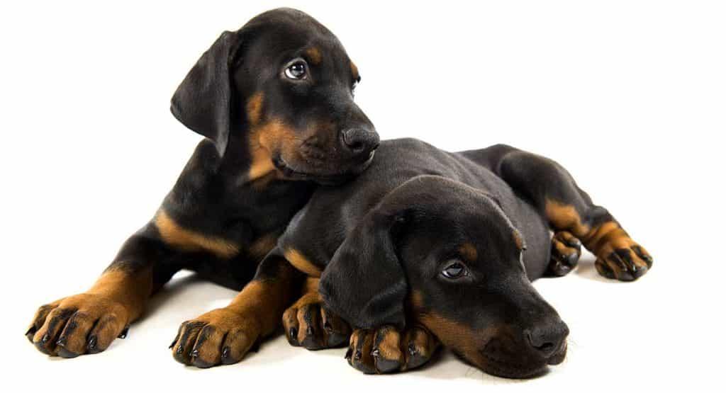 Hai chú chó Doberman con đang nằm chơi