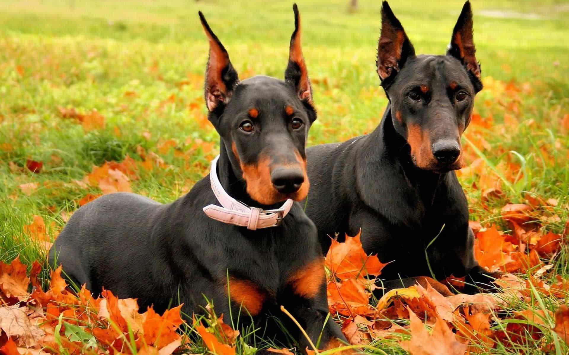 Hai chú chó Doberman trên lá vàng