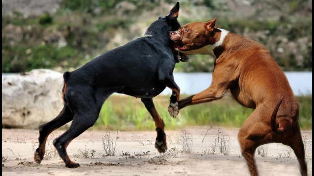 Hai chú chó Doberman và Pitbull đang cắn nhau
