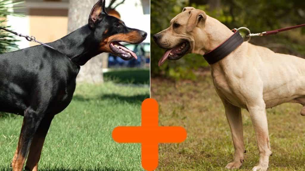 Hai chú chó Doberman và Pitbull hiếu chiến