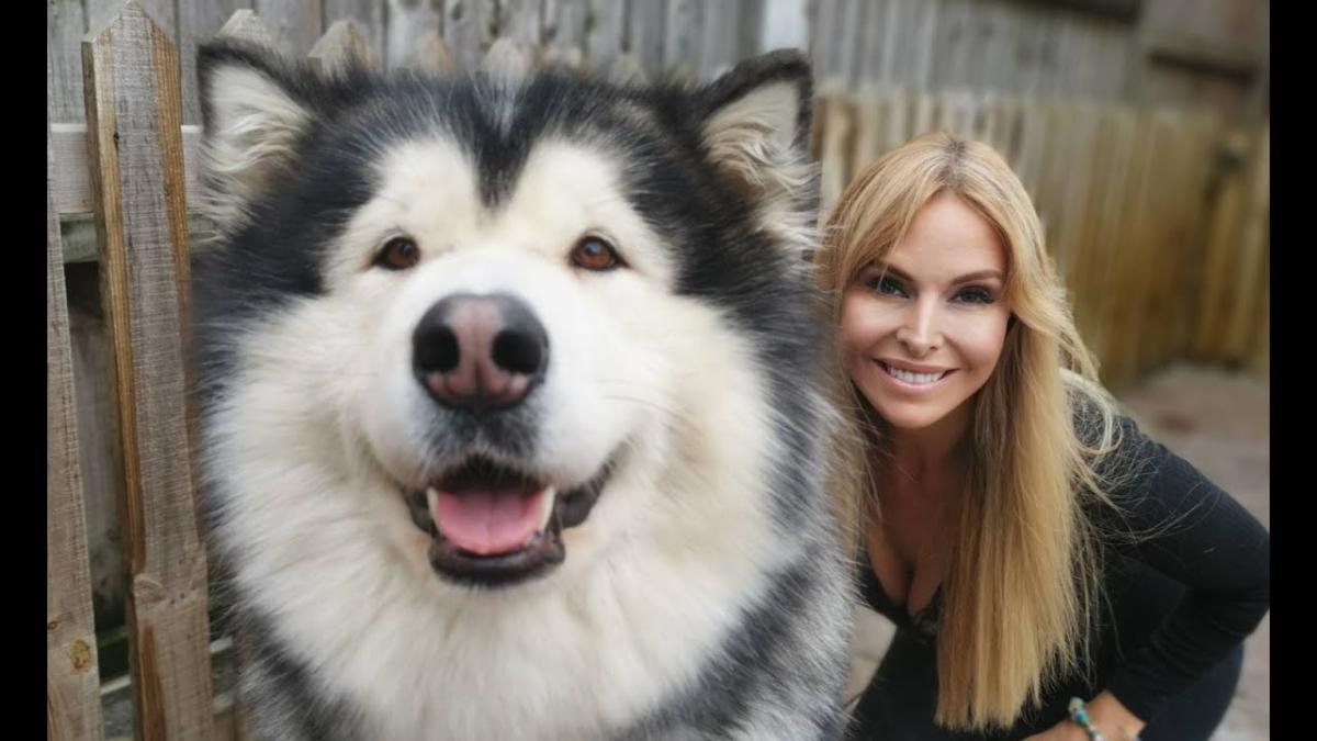 Hình ảnh bé Alaska Giant vui mừng khi được cùng chủ đi chơi