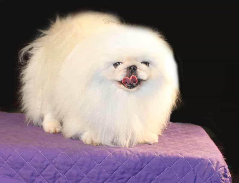 Hình ảnh chó Bắc Kinh