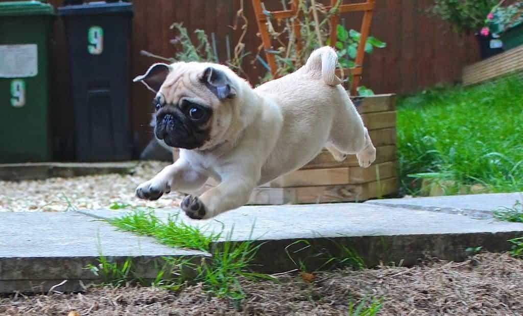 Hình ảnh chó Pug chạy nhảy