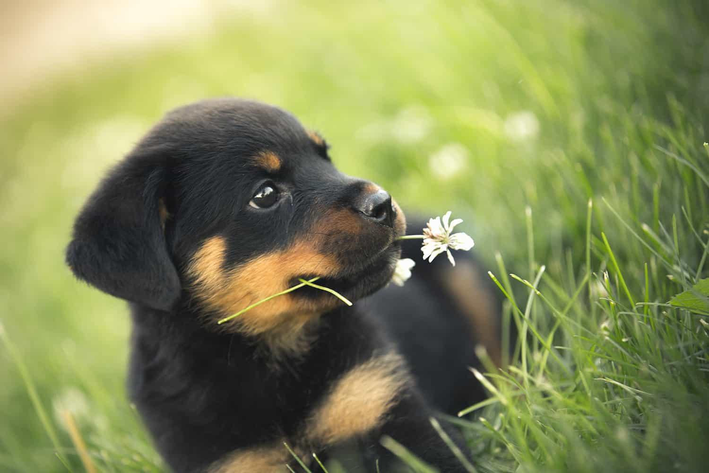 Hình ảnh chó rottweiler con