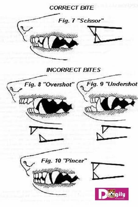 Hình ảnh mô tả các lỗi về răng miệng chó Akita Mỹ