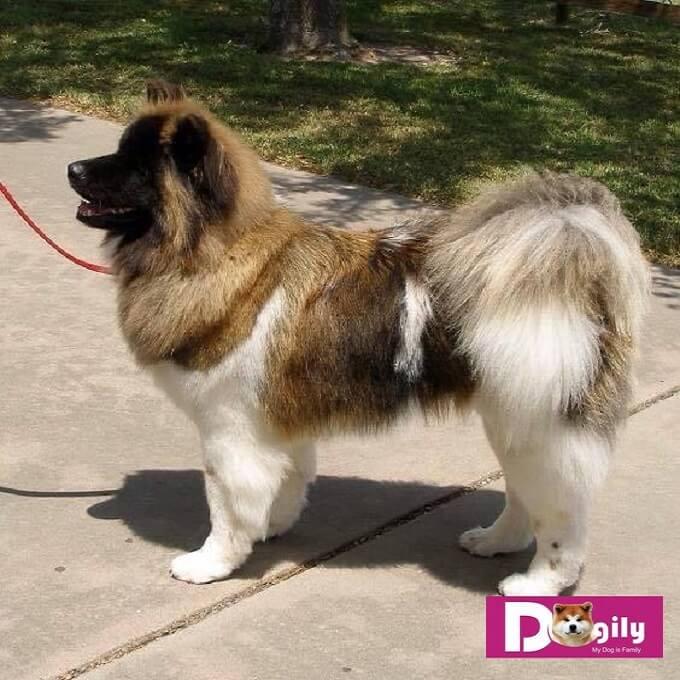 Hình ảnh một chú chó Akita Mỹ lông xù. Đây là một dạng lỗi tiêu chuẩn nhưng có ngoại hình rất đẹp