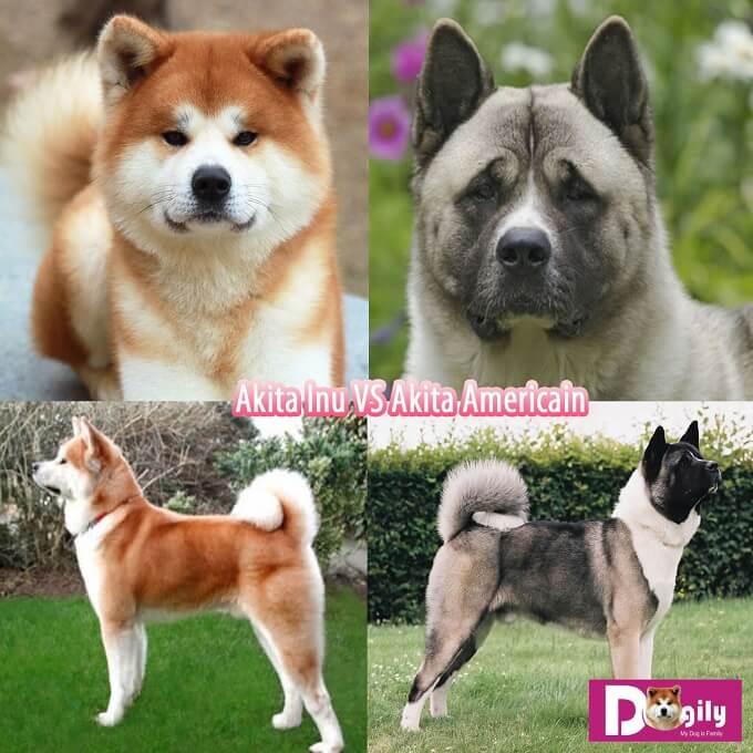 Hình ảnh Phân biệt chó Akita Mỹ và chó Akita Inu