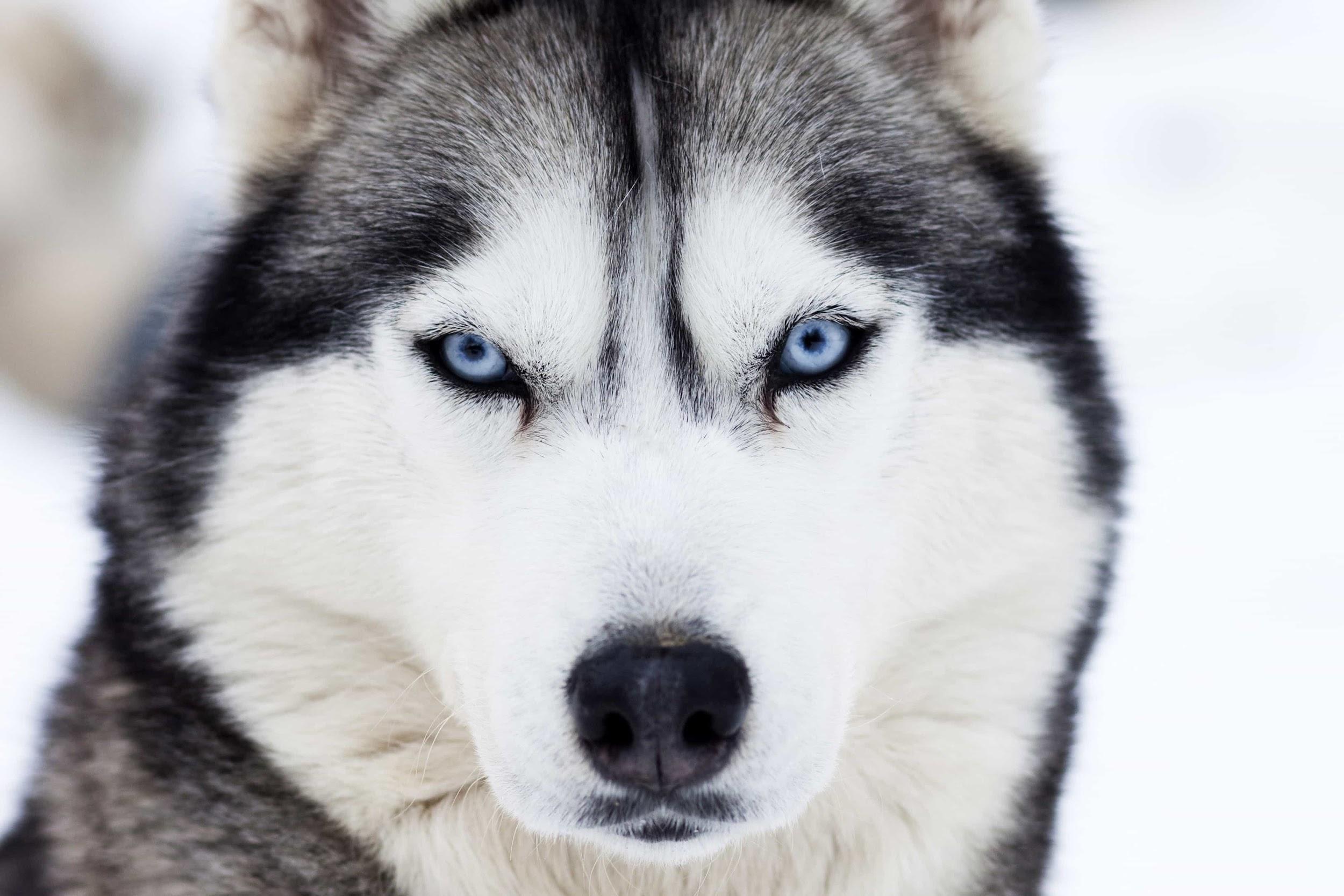 Husky có đôi mắt màu xanh độc đáo