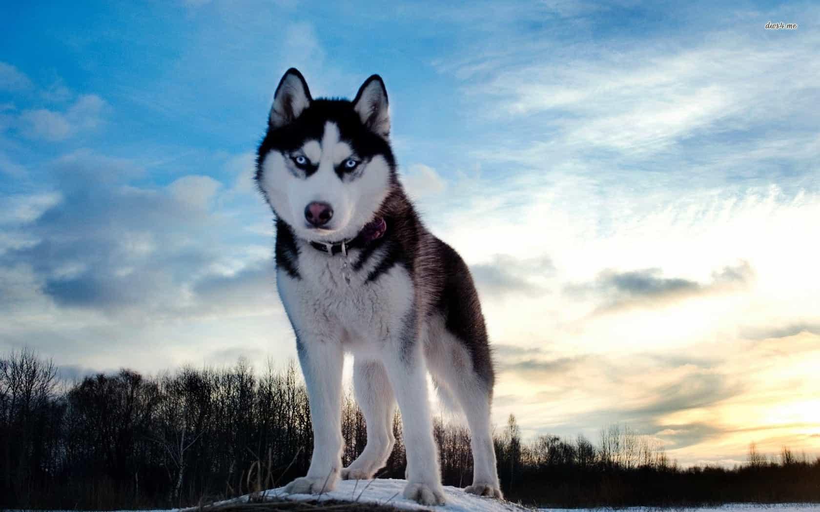 Husky có nguồn gốc từ vùng Đông Bắc Siberia nước Nga
