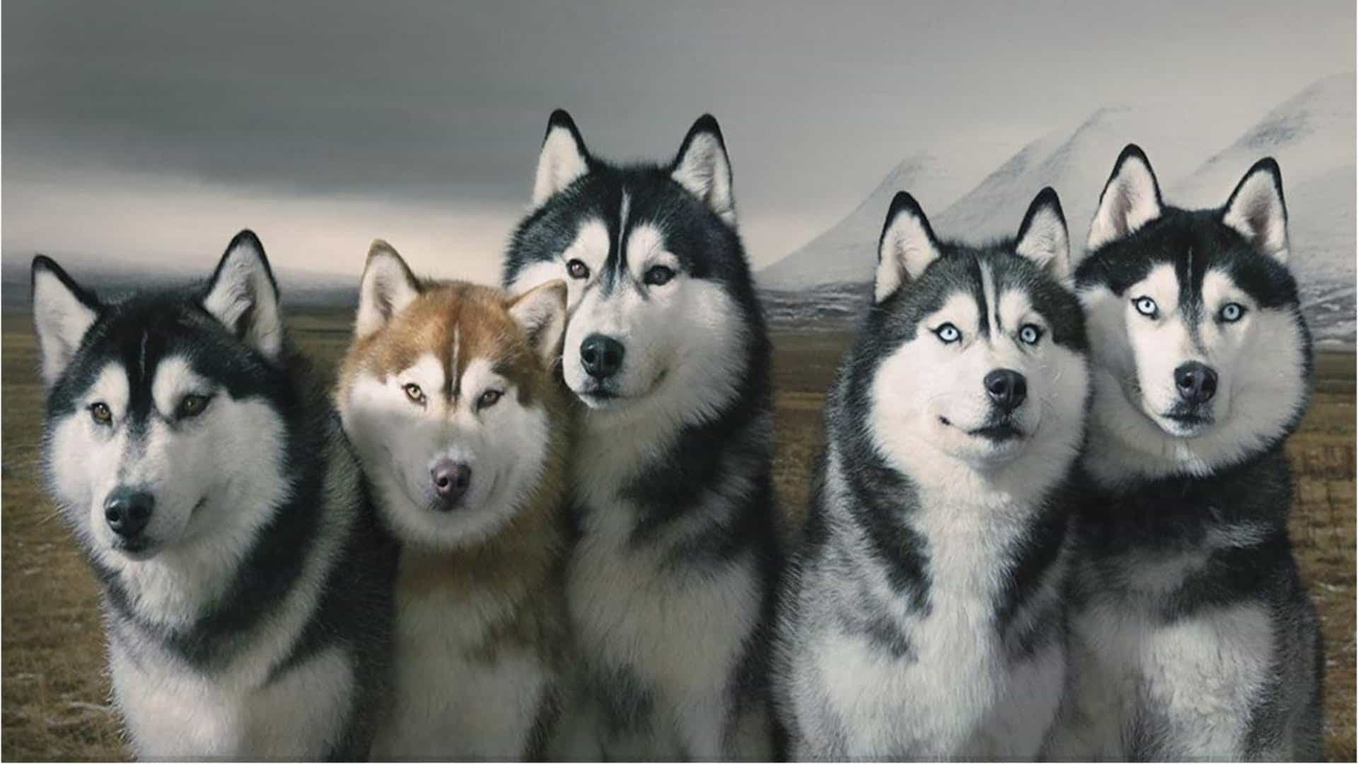 Husky và Alaska có khá nhiều điểm tương đồng