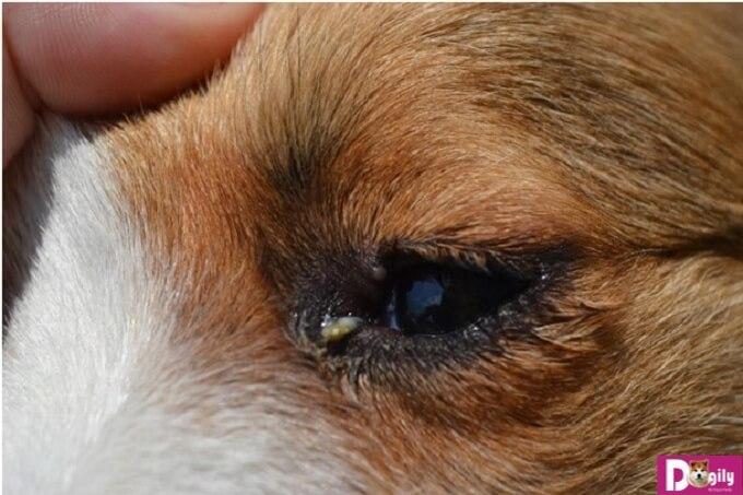 Khi chó bị đau mắt – Dấu hiệu của nhiều căn bệnh