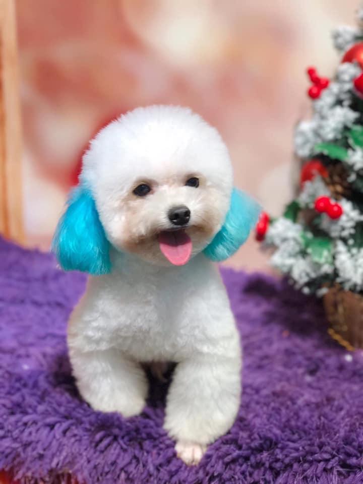 Không nên cho chó Poodle nhuộm lông bằng thuốc nhuộm cho người.
