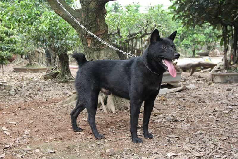 Kích thước của chó Mông Cộc