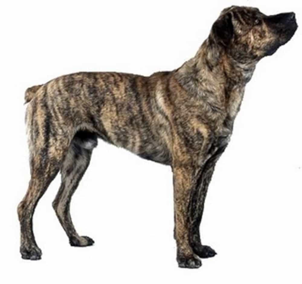 Lông chó Mông Cộc