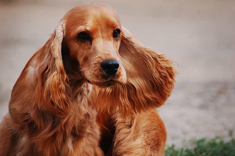 Lông của Chó Cocker Spaniel