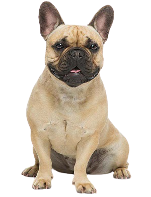 Lý do mua chó poodle tại sieupet.com